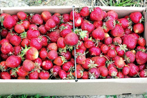 Strawberry picking strawberries in box