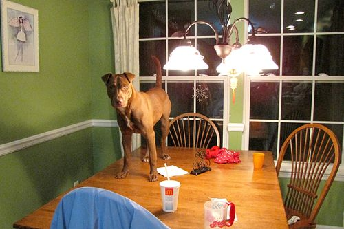 Dog on table