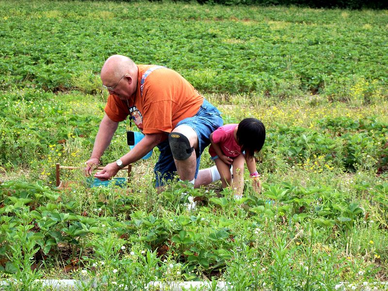 Strawberry picking grandpa and granddaughter
