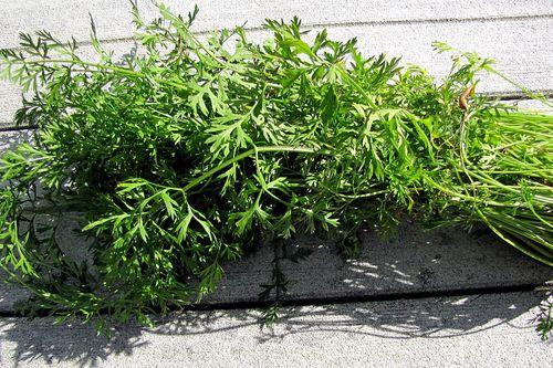 Carrot fail lush leaves